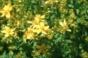 St. John's Wort Flowers & Leaves
